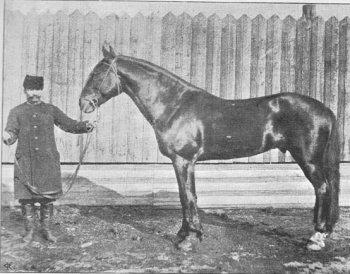 Жеребец Гранит. зав. С.Д. Коробьина. Альбом известных лошадей. С.Пб. 1912 г.