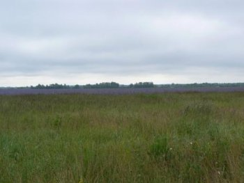 Фото 1. Такие чудесные сиреневые поля лежат на пути к Лунино
