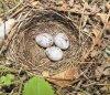 Самочка овсянки плетет гнездо из сухих стеблей травы, корешков, тонких веточек, иногда листьев. Лоток выкладывает мягкими травинками.